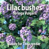 Image for Lilac bushes
