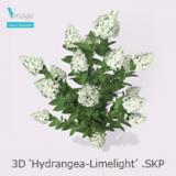 Image for High quality 'Hydrangea Limelight'